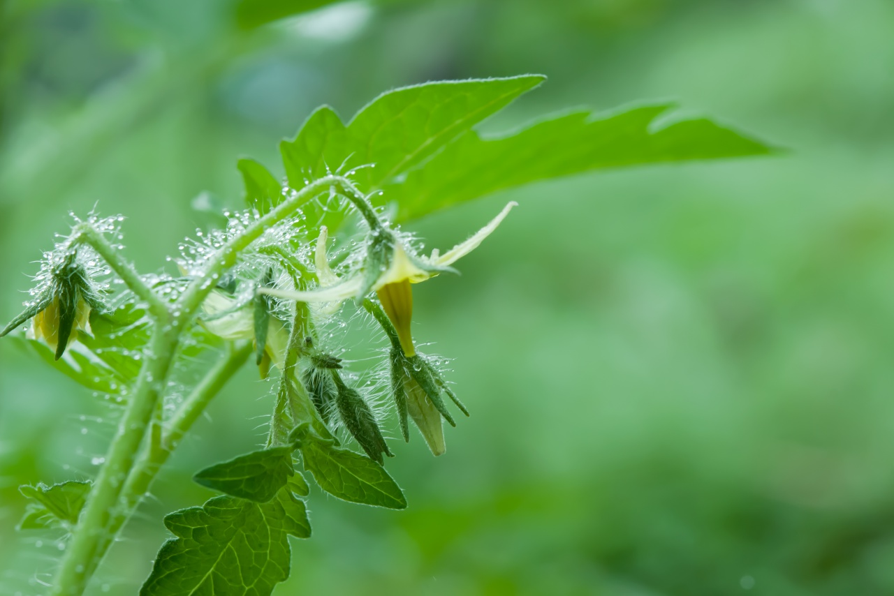 「トマト 花」の画像検索結果