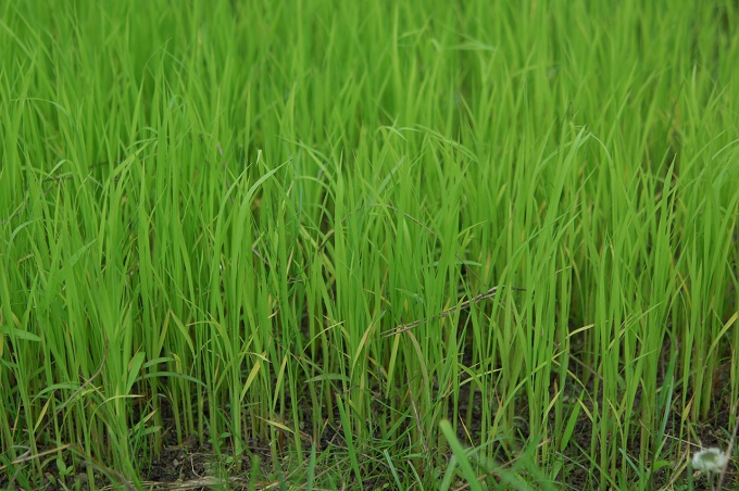 6月にはすくすく育つお米さま